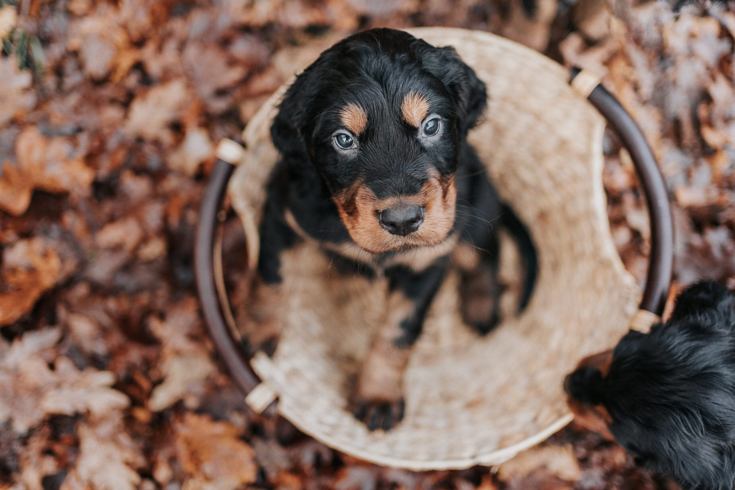 Hundefotografie in Hamburg, Gordon Setter